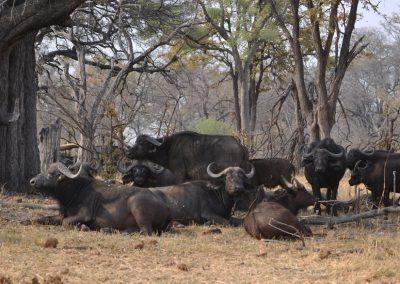 Botswana - Okavango - Buffalo's
