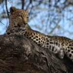 Kruger national Park Leopard