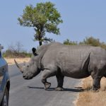 Kruger national Park Rhino