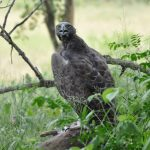 Kruger national Park Martial Eagle