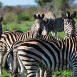 Kruger national Park Zebra