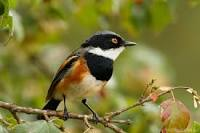 Cape Batis - symbiotic relationships