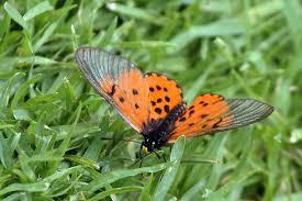 Acraea horta butterfly - symbiotic relationships
