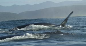 Whales-Southern Right Whale