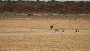 Botswana-Mabuasehube-Nossob-4-X-4-Eco-Trail-Bossobologo-Eland-Gemsbok