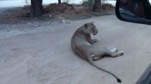 Botswana-Mabuasehube-Nossob-4-X-4-Eco-Trail-nossob-polentswa-lion